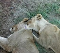 File:Social grooming lions.ogv