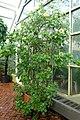 Solandra longiflora - Brooklyn Botanic Garden - Brooklyn, NY - DSC08022.JPG