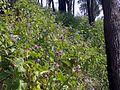 Solanum hillside Flint & Steel beach.jpg
