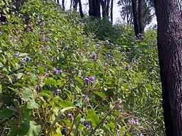 Solanum hillside Flint & Steel beach.jpg