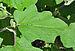 Solanum melongena leaf 03 09 2012.jpg