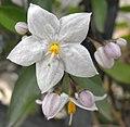 Solanumjasminoides.jpg