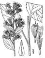 Solidago macrophylla01.jpg