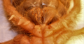 Solifugae Ventral aspect of respiratory slots 2012 01 24 light & cropped.png