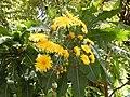 Sonchus fruticosus.jpg
