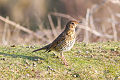 Song Thrush (Turdus philomelos).jpg