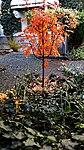 Sorbus Herbstlaub 03.jpg