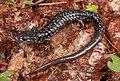 Southern Appalachian salamander.jpg