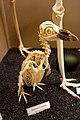 Spheniscus demersus - skeleton.jpg