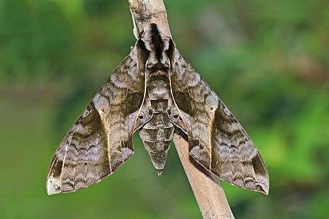 Sphinx moth (Eumorpha anchemolus), Panama