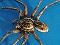 Spider Glen Forrest 2009.jpg