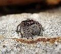 Spider Salticidae (28131090479).jpg