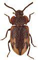 Spinolyprops thailandicus paratype - ZooKeys-243-083-g003-11.jpeg