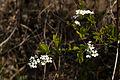Spiraea prunifolia var. simpliciflora 2014.4.5 (13679112673).jpg