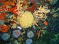 Sponge and Nippled sea fans at Middelmas PA208651.JPG