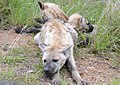 Spotted Hyena - Mom & Pups (5342477266).jpg