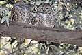Spotted Owl (Strix occidentalis) (2586828745).jpg