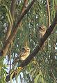 Spotted Owlet,Pohra-Malkhed Forest region,Amravati.jpg