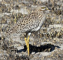 Spotted Thick-knee, Burhinus capensis (Spotted Dikkop) at Marievale Nature Reserve, Gauteng, South Africa (9700156219), crop.jpg