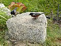 Spotted Towhees (9206260548).jpg
