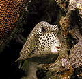 Spotted Trunkfish.jpg