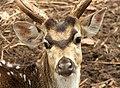 Spotted buck (axis axis) at Tirumala deer park.jpg