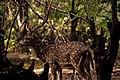 Spotted deer at Vandalur Zoo.jpg