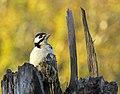 Större Hackspett Great Spotted Woodpecker (15148033563).jpg