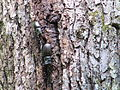 Stag beetles on a tree 20110623 2926.jpg