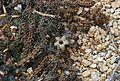 Stapelianthus decaryi 07 04 Philweb - 18792461414.jpg