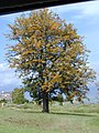 Starr-030418-0007-Grevillea robusta-flowering habit-Kula-Maui (24003571643).jpg