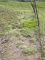 Starr-040514-0109-Cynodon dactylon-hand weeding-Puhilele HNP-Maui (24334791039).jpg