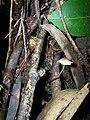 Starr-041211-1353-Eucalyptus sp-with mushroom-Puu Nianiau-Maui (24627524571).jpg