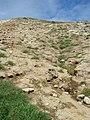 Starr-050404-5395-Eleusine indica-habit-Mokeehia-Maui (24715458926).jpg