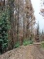Starr-070908-9260-Eucalyptus globulus-rebounding after fire-Polipoli-Maui (24597423900).jpg
