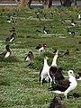 Starr-080531-4716-Lobularia maritima-habit with Laysan albatross-Parade field Sand Island-Midway Atoll (24817258621).jpg