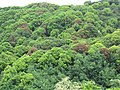Starr-090617-0944-Mangifera indica-habit-Kakipi Gulch Haiku-Maui (24847173502).jpg