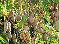 Starr-090720-2972-Tamarindus indica-leaves flowers and seedpods-Waiehu-Maui (24674493030).jpg