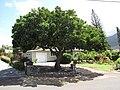 Starr-090721-3284-Dimocarpus longan-habit-Wailuku-Maui (24675013490).jpg