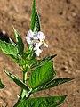 Starr-091023-8528-Solanum muricatum-flowers and leaves-Kula Experiment Station-Maui (24356199604).jpg