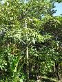 Starr-110330-3812-Pachira aquatica-habit-Garden of Eden Keanae-Maui (24450096504).jpg