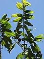 Starr-110330-4074-Theobroma grandiflorum-leaves-Garden of Eden Keanae-Maui (24963039202).jpg