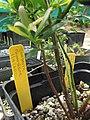 Starr-110621-6249-Vaccinium hybrid-Southern highbush cv Sunshine plant tag-Hawea Pl Olinda-Maui (25097252025).jpg