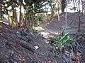 Starr-111207-1615-Musa x paradisiaca-Pome Hawaiian Tall Apple in gulch-Hawea Pl Olinda-Maui (25002441952).jpg