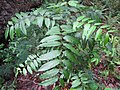 Starr-120229-2942-Toona ciliata-leaves-Waikapu Valley-Maui (25109986346).jpg