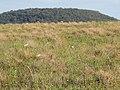 Starr-141229-3207-Andropogon virginicus-habit view Puu Piiholo and cattle egrets-Hoku Nui Piiholo-Maui (24618362544).jpg