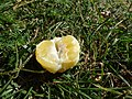 Starr-150326-0708-Citrus meyeri-peeled fruit-Citrus Grove Town Sand Island-Midway Atoll (25173587951).jpg