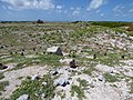 Starr-150328-0850-Brassica juncea-habit and Laysan Albatrosses-Central Eastern Island-Midway Atoll (25151065102).jpg