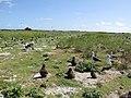 Starr-150328-1833-Brassica nigra-Laysan Albatrosses-Southwest Eastern Island-Midway Atoll (24902201989).jpg