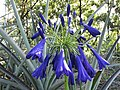 Starr-160906-5177-Agapanthus praecox subsp orientalis-flower dark blue purple variety-Hawea Pl Olinda-Maui (29587184491).jpg